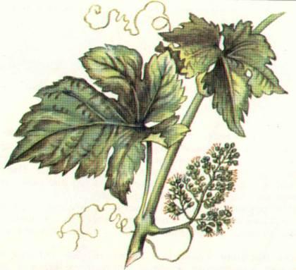 виноград гиссарский